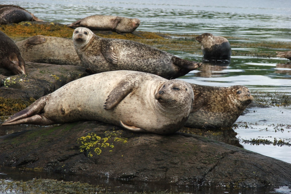 Seals, Garnish Island