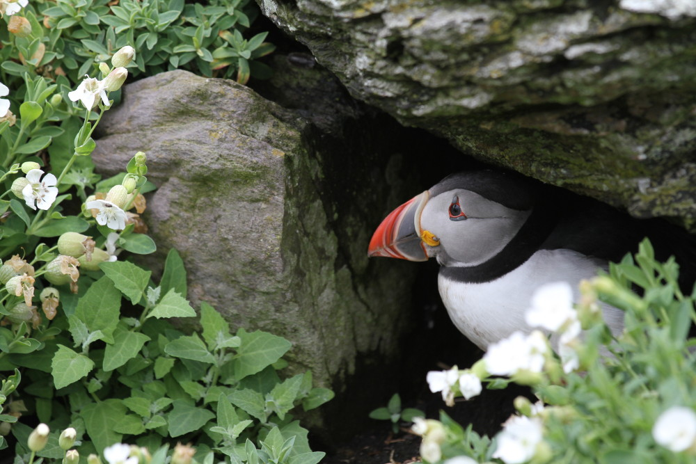 Puffin, Skellig Michael, County Kerry