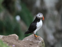 Puffin, Saltee Island Great, County Wexford